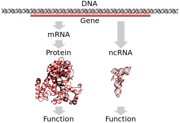 DNA_to_protein_or_ncRNA.svg