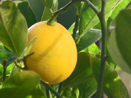 800px-Meyer_Lemon